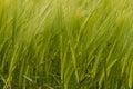 A crop of green barley field wheat corn ears heads Stock Image