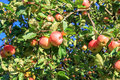 Crop of red ripe apples on an apple-tree in garden Royalty Free Stock Photo