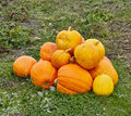 The crop of yellow pumpkins at the field