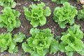 Crops of cabbage lettuce in the field in close up soil at a small farm Stock Photography