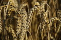 Crops field Royalty Free Stock Photo