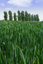 Crops in the field Royalty Free Stock Photo