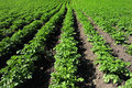 Crops and in the furrow Royalty Free Stock Photos