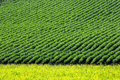 Crops and in the furrow Stock Photography