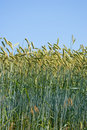 Crops - harvest Royalty Free Stock Photo