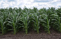 Crops of hybrid maize