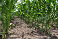 Crops of hybrid maize_4