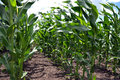 Crops of hybrid maize_3