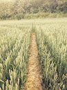 Crops wheat field pathway Stock Images
