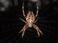Cross back spider Royalty Free Stock Photo