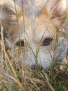 Cross-bred dog with beautiful eyes lying on grass and looking into camera Royalty Free Stock Photo