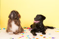 Cross breed dog laying with confetti Royalty Free Stock Photo