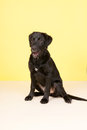 Cross breed dog on yellow background is sitting Royalty Free Stock Photo