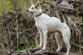 Cross-breed of hunting and northern dog standing on a root of fallen tree Royalty Free Stock Photo