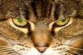 Cross Cats eyes Royalty Free Stock Photo