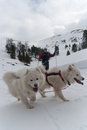 Cross-country skier and two samoyed dogs Stock Photos