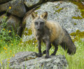 Cross Fox Royalty Free Stock Photography