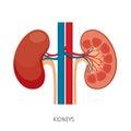 Cross Section Of Kidneys, Human Internal Organ Diagram