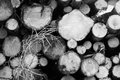 Cross section of stacked wood logs in black and white Royalty Free Stock Photo