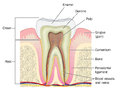 Cross section through tooth
