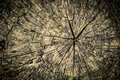 Cross section tree stump texture grungy detailed of a cracked wood Stock Images