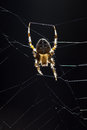 Cross spider european araneus diadematus Royalty Free Stock Photo