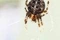 Cross Spider Macro
