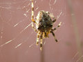 Cross spider on the web insect photography Royalty Free Stock Images
