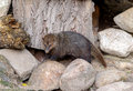 Crossarchus obscurus is a small and very social diurnal kusimanse or dwarf mongoose common Royalty Free Stock Image
