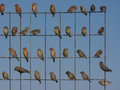 Crossbills a flock of sitting on a wire fence Royalty Free Stock Photos