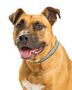 Crossbreed Large Dog Happy Expression Royalty Free Stock Photo