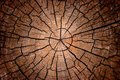 Crosscut log radial pattern Royalty Free Stock Photography