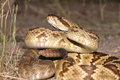 Crotalus molossus Royalty Free Stock Photos