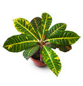 Croton plant clipping path included Royalty Free Stock Photos
