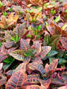 Croton plants vertical spread view of many here seen on a greenhouse cultivar Stock Images
