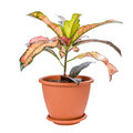 Croton in pot isolated on white background Royalty Free Stock Photo