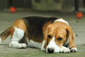 Crouching beagle cute dog Stock Image