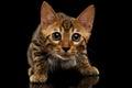 Crouching Bengal Kitty on Black Royalty Free Stock Photo