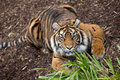 Crouching tiger a down looking at the camera Stock Images