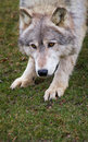 Crouching Timber Wolf  Stock Photos