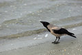 Crow on the beach Royalty Free Stock Photo