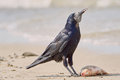 Crow on the beach Royalty Free Stock Photo
