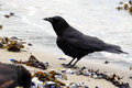 Crow on Beach Royalty Free Stock Photo