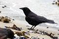 Crow on Beach Royalty Free Stock Photo