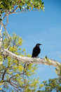Crow on branch in the everglades of florida Royalty Free Stock Photography