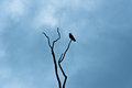 Crow on branch looking right silouette a sitting a tree silouetted against cloudy dark blue sky Royalty Free Stock Images