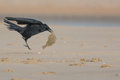 Crow finds a fish at the beach Royalty Free Stock Photo