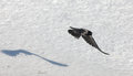 Crow in flight and its shadow on the snow Royalty Free Stock Image