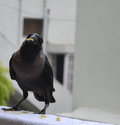 Crow with food in beak Stock Images