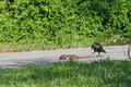 Crow food a hungry approaches a dead squirrel lying in the road Stock Photography